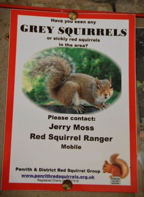 What does the Red Squirrel Ranger do to any grey squirrels that he finds? And does he ride a horse?