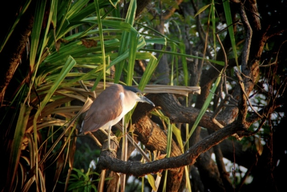 Rufus Night Heron. Yes, that's right, check out my Bird Knowledge.