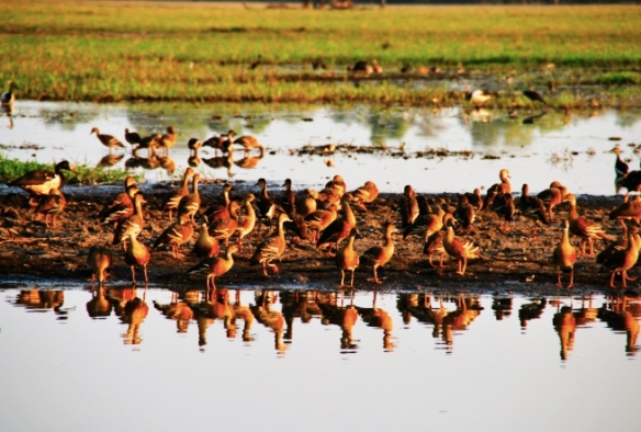 Whistling Ducks.
